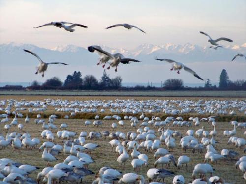 Flock of Snow Geese in a field